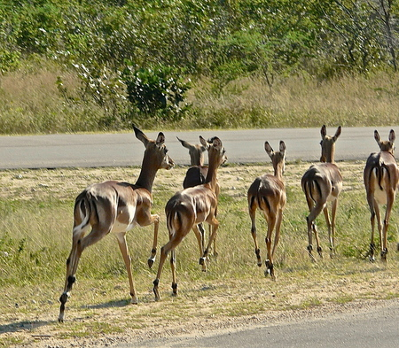 Impala's - Kruger National Park, Z-Afrika - foto door Hans-Lejeune op 23-02-2015 - deze foto bevat: safari, impala, krugerpark, hans lejeune