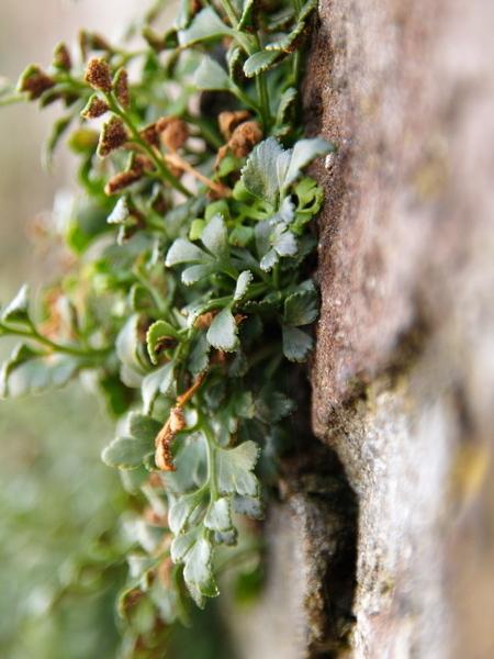Plantje uit de muur - Deze foto is genomen in brielle tijdens en fotowandeling met pixelclass.nl. - foto door wagem005 op 25-01-2011 - deze foto bevat: plantje, muur, brielle, pixelclass