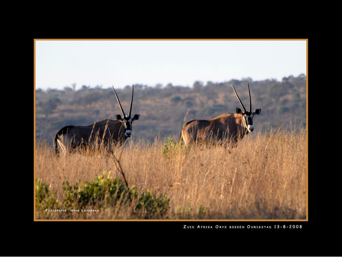 Oryx bokken - Deze Oryx bokken heb ik kunnen vastleggen in Ohrigstad tijdens onze rondreis door Zuid Afrika. Henk L - foto door Henk Laverman op 27-01-2009 - deze foto bevat: dieren, safari, zuid, afrika, bokken, oryx, ohrigstad