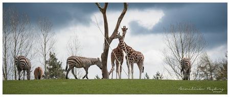 Op safari in Denemarken! - - - foto door AnneliekeBesters op 28-04-2016 - deze foto bevat: zebra, dierentuin, dieren, safari, giraffe
