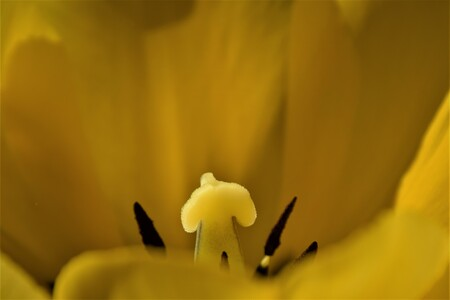 grote stoere kerel tussen al dat geel  - zie ik daar ineens een stoere kerel staan tussen de meeldraden  - foto door jeje63 op 14-04-2021 - locatie: Goirle, Nederland - deze foto bevat: geel, tulp, meeldraden, macro, bloem, fabriek, bloemblaadje, iris, terrestrische plant, pedicel, bloeiende plant, lelie, kruidachtige plant, detailopname