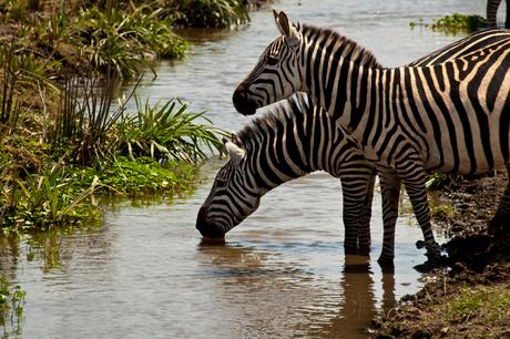 Drinkende Zebra's.jpg