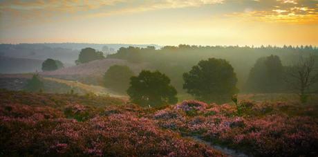 Purple heather at dawn