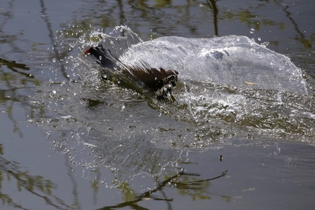 Waterhoentje - Komt net boven water - foto door Ebben op 16-04-2021 - deze foto bevat: water, vloeistof, alligator, crocodilia, vloeistof, krokodil, amerikaanse krokodil, amerikaanse alligator, waterloop, nijlkrokodil