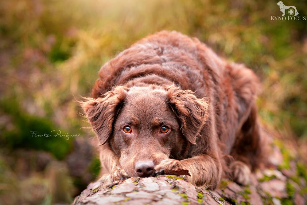 Nala - Nala was model tijdens de workshop hondenfotografie die ik afgelopen weekend georganiseerd had. Wat een topper! Ze wilde zelfs wel even op een (smal - foto door kynofocus op 19-01-2018 - deze foto bevat: winter, bos, hond