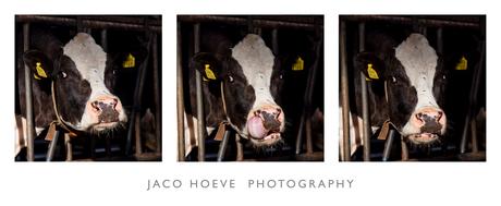 Pasfoto koe
