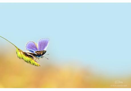 icarus vlinder