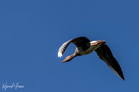 Goose on the run