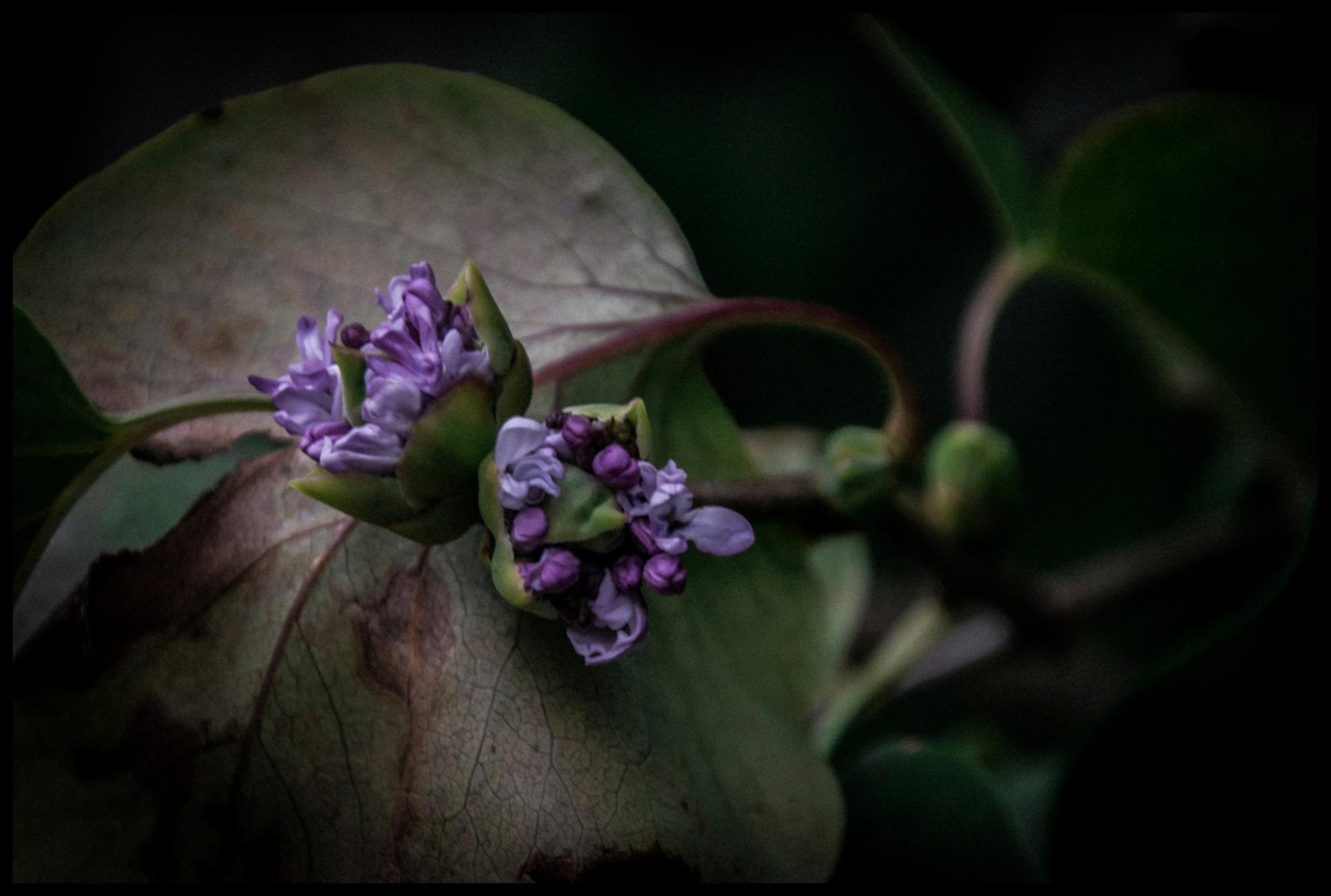 seringen terug in bloei.. - Mijn seringen staan weer in bloei.. deze bloeien normaal gezien april-mei..  nu dus een tweede bloei.. de natuur slaat echt wel op hol..  niet de  - foto door oli_zoom op 30-10-2017 - deze foto bevat: bloem, herfst, blad - Deze foto mag gebruikt worden in een Zoom.nl publicatie