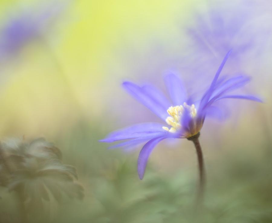 Fields of blue - Ze bloeien weer in groepjes in de tuin. Toch nog maar weer meer bolletjes de grond in dit jaar met nieuwe kleurtjes. - foto door tineke1 op 14-04-2021 - deze foto bevat: bloem, fabriek, purper, bloemblaadje, terrestrische plant, paars, gras, kruidachtige plant, hout, elektrisch blauw