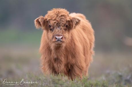 Schotse hooglander Kalf