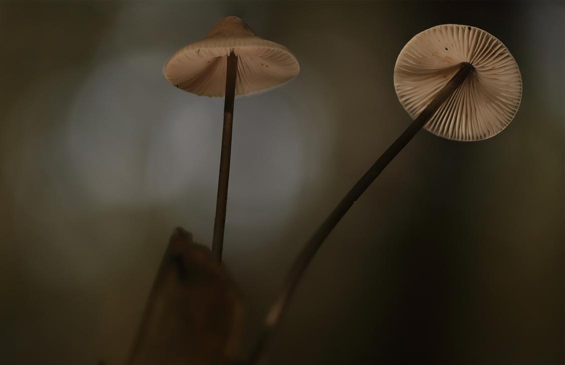 Mycena - Mycena.  Misschien iets te krap gekaderd, maar dan had ik een gat moeten graven om de camera verder van het onderwerp te krijgen. Toch een leuk sf - foto door ErikV74 op 02-10-2020 - deze foto bevat: groen, lucht, macro, boom, licht, paddestoel, herfst, blad, bos, tegenlicht