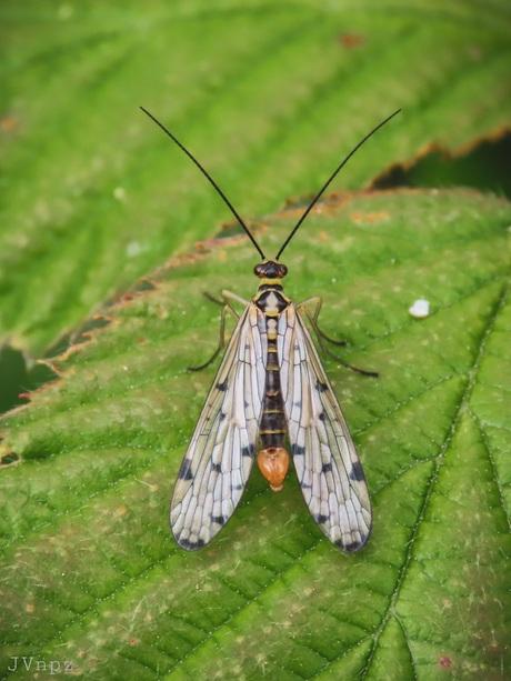 Duitse Schorpioenvlieg