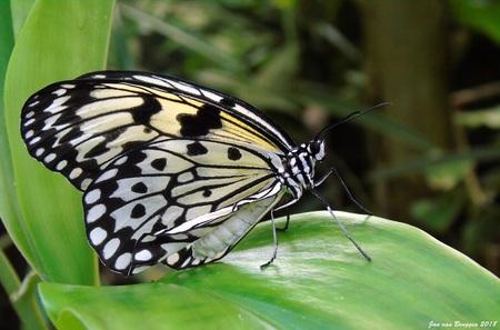 Idea leuconoe (Papiervlinder) - De Idea leuconoe, beter bekend als de papiervlinder, is een bijzonder grote vlinder. Zijn vleugels hebben een spanwijdte van 15 centimeter.  Door h - foto door Redfox16 op 01-05-2018 - deze foto bevat: vlinder, vlindertuin, papiervlinder, idea leuconoe, jvbfotografie.nl, vlindersadvliet