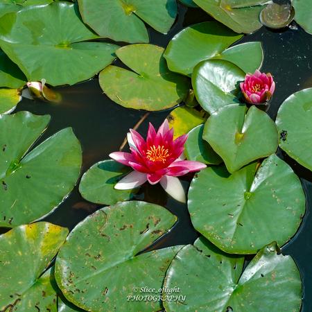 Water & Lelies - Waterlelies al in bloei - foto door GJH1970 op 13-04-2021 - locatie: 2300 Turnhout, België - deze foto bevat: water, bloem, fabriek, groen, plantkunde, lotus, bloemblaadje, blad, vloeistof, terrestrische plant