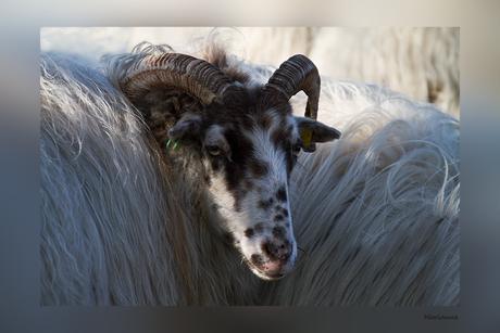 Een baaltje wol