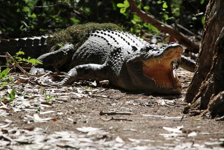 Onderweg van jabirau naar Pine Creek (zoutwater krokodil) (1)