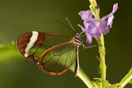 Glasvleugelvlinder – Greta oto (2) - Bijna 3 jaar  geleden heb ik deze vlinder ook eens mogen fotograferen. Tijd voor een nieuwere versie. - foto door fronikawestenbroek op 29-12-2016 - deze foto bevat: macro, bloem, natuur, vlinder, tuin, blad, dieren, insect, nederland