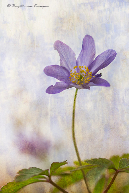 Spring Blues - Tijd voor een bloemetje, het macro seizoen staat te trappelen om te beginnen - foto door Puck101259 op 18-02-2020 - deze foto bevat: paars, bloem, licht, bewerking, photoshop, creatief, flora, textuur, brigitte