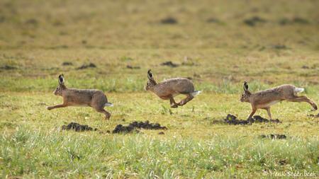 Haas raast over het veld - Met grote snelheid rennen de hazen door het veld. Hoe breng je dat nu goed over op een foto? Ik heb gekozen om een burst van 3 fotos te combineren, d - foto door HenkSt op 16-04-2021 - locatie: 3755 Eemnes, Nederland - deze foto bevat: haas, veld, rennen, burst opname, kangoeroe, groen, macropodidae, gras, natuurlijk landschap, wallaby, kangoeroe, terrestrische dieren, gewoon, grasland