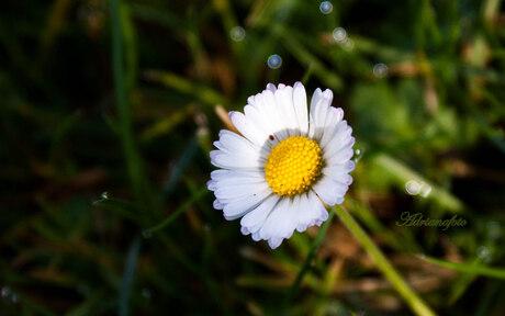 Gewoon een Margrietje, in het natte gras