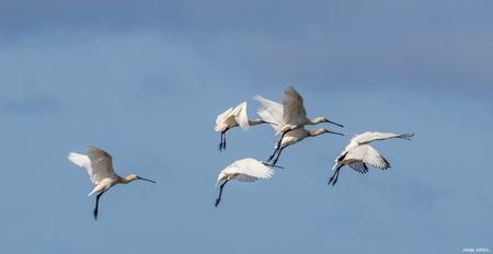 Lepelaars. - Lepelaars . - foto door ikjel op 13-04-2021 - deze foto bevat: lucht, vogel, gewervelde, bek, veer, watervogels, vleugel, migratie van dieren, zeevogel, kudde