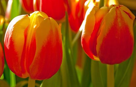 tulpjes - ze staan zo lekkre in het zonnetje - foto door koosrensen op 15-01-2012 - deze foto bevat: tulpen, tulp