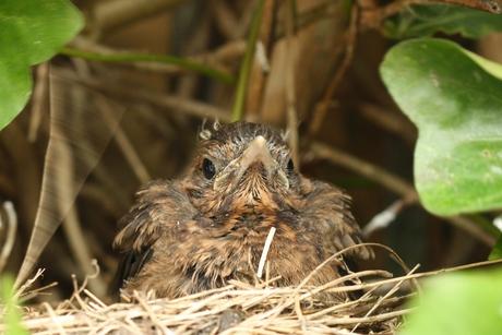 jonge merel in nest