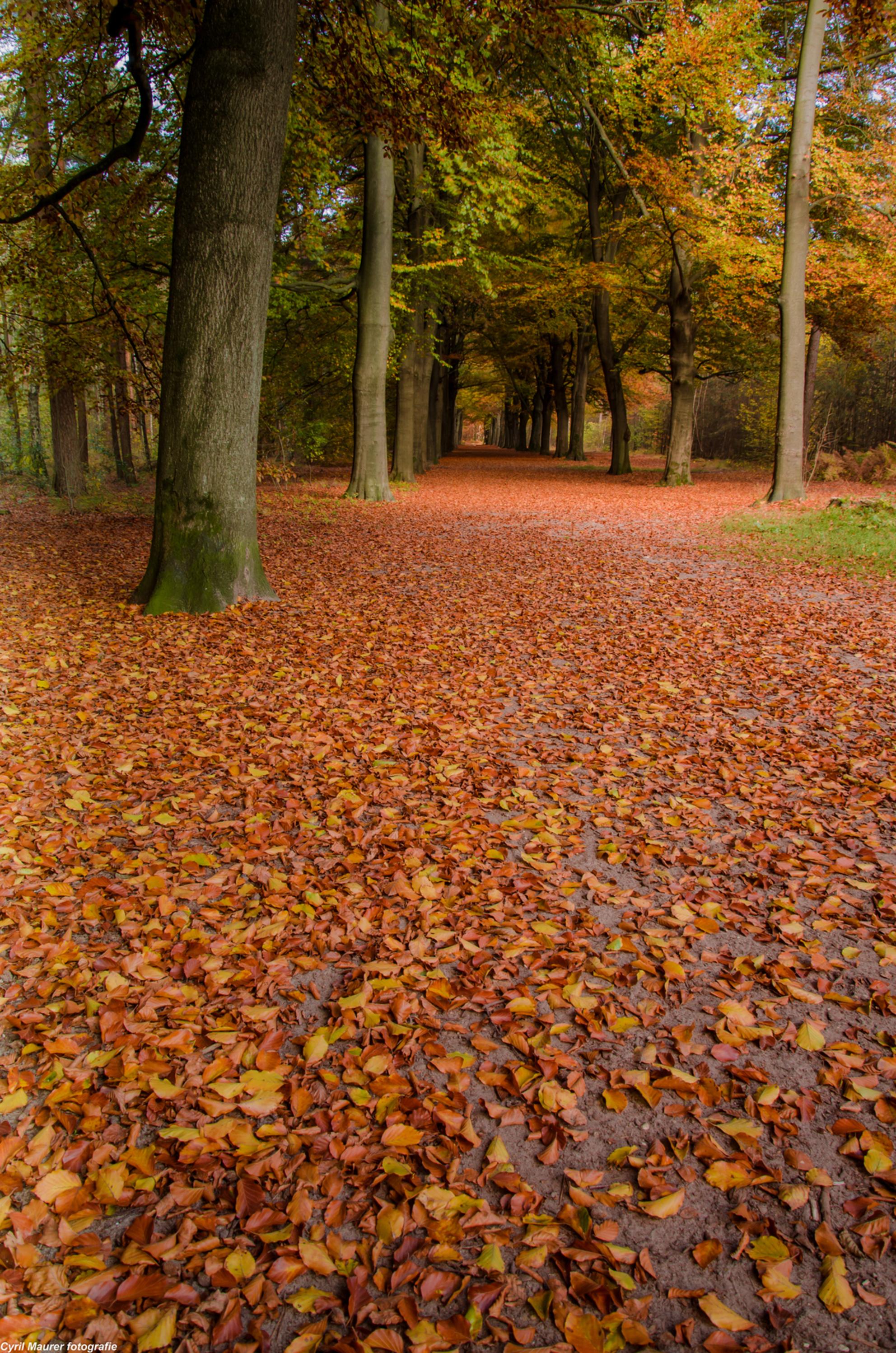 Bos met een mooi oranje deken - lekker in het Bilthoven in het kleine stukje bos vlak bij waar we wonen . deze foto genomen - foto door sipmaurer op 30-10-2015 - deze foto bevat: bladeren, natuur, herfst, landschap, bos, bomen, kleurijk, warme sfeer - Deze foto mag gebruikt worden in een Zoom.nl publicatie