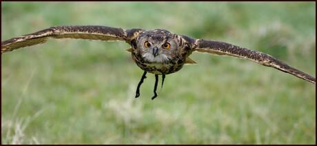Vliegende Oehoe