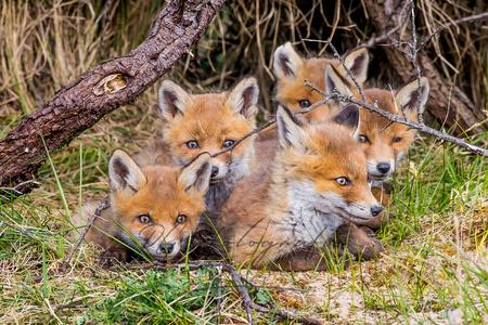 Vossen welpjes - - - foto door RGJ-fotografie op 06-05-2020 - deze foto bevat: natuur, dieren, duinen, vos, awd, wildlife, welp, schattig, waterleiding