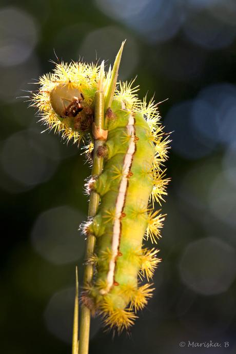 Automeris iris
