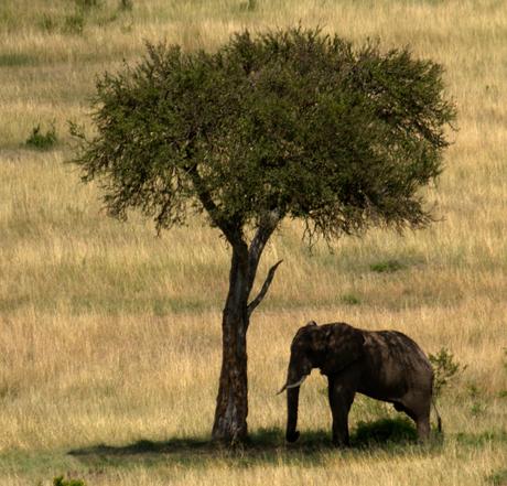 Kenia-Olifant