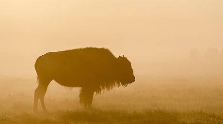 Bizon in de mist