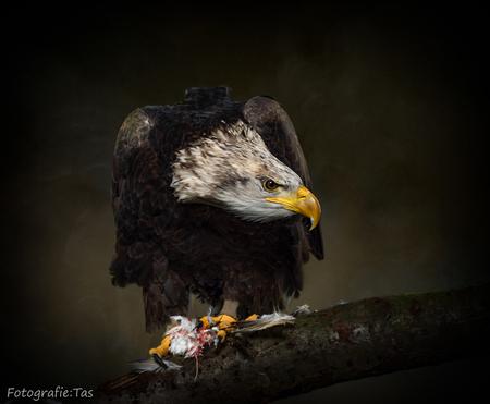 De Amerikaanse zeearend - - - foto door Taswor op 18-01-2019 - deze foto bevat: roofvogel