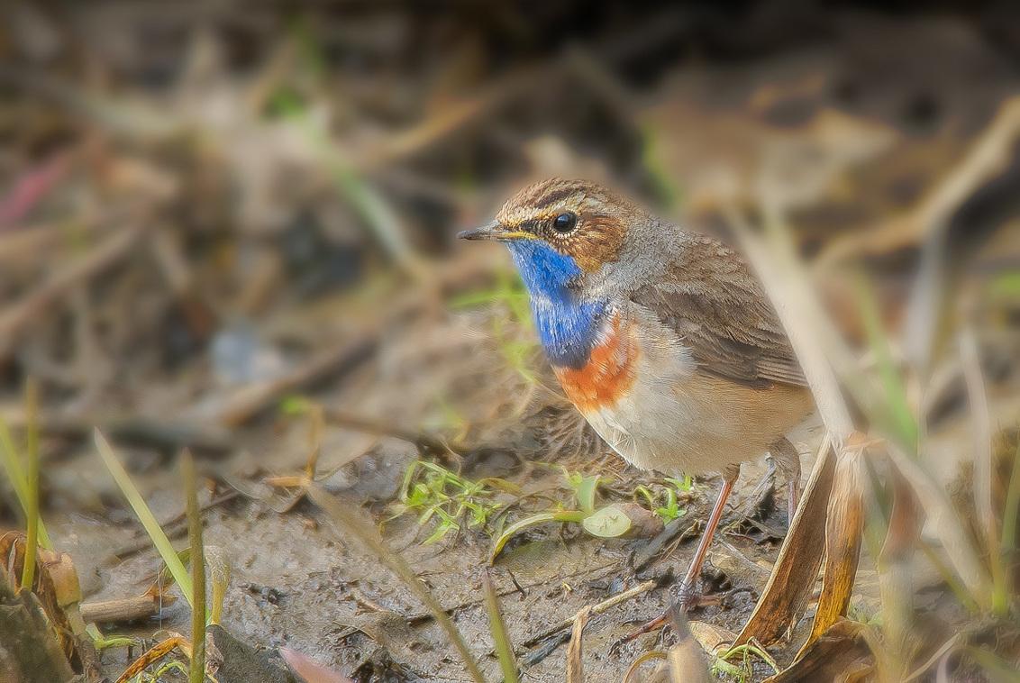 Blauwborst - Uitbundige zang en een kleurrijk verenpak, dat zijn de kenmerken van dit leuke vogeltje. Vele vogelsoorten worden bedreigd, zo niet de blauwborst, di - foto door hvr2105 op 16-03-2021 - deze foto bevat: vogel, blauwborst, telelens