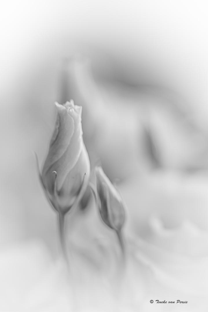 White world - De Lisanthus bloem, witte uitvoering. Mooie bloemen vooral vind ik juist als ze nog in knop zitten.  Bewust hier de zwart/wit uitvoering, dat vond ik - foto door TinekevanPersie op 03-05-2021 - deze foto bevat: zwart-wit, lisanthus, bloemen, macro, van persie, wolk, bloemblaadje, gebaar, fabriek, grijs, kunst, bloem, flitsfotografie, hout, bloeiende plant