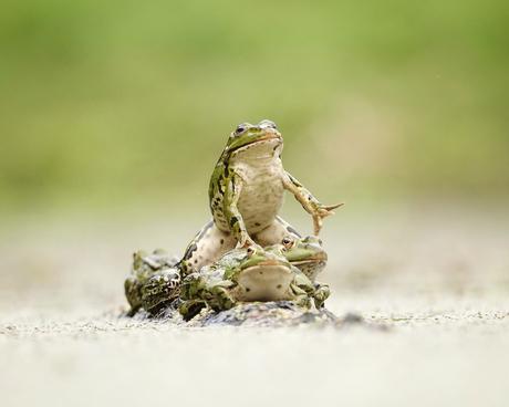 Alpha frog