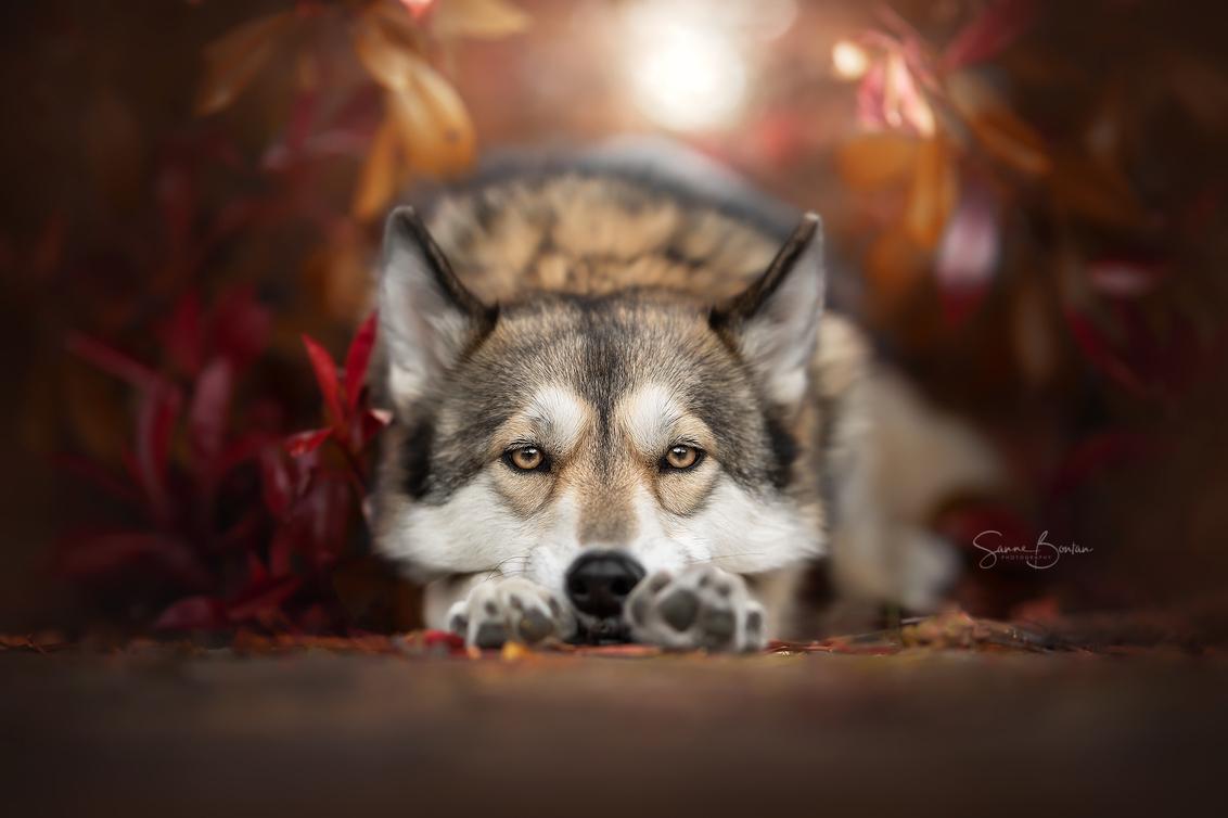 Herfstkleuren - - - foto door SanneBontan op 20-10-2020 - deze foto bevat: bladeren, autumn, bruin, herfst, dieren, huisdier, hond, honden, dier, herfstkleuren, huisdieren, wolfhond, hondenportret, hondenfotograaf, tamaskan, outdoorfotografie, outdoorfotograaf