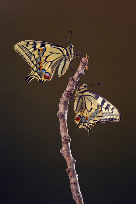 Koninginnenpage, papilio machaon