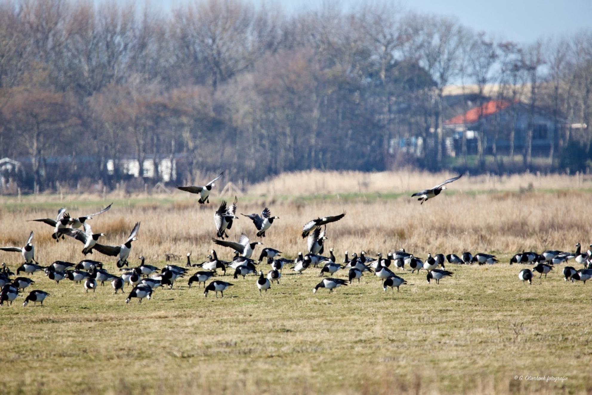 Wij komen er ook bij - Kijk hem ff in het groot.  Mijn motto: Morgen maak ik mijn mooiste foto!  En bedankt voor de reacties bij de vorige uploads. - foto door de-lasser2019 op 07-03-2021 - deze foto bevat: water, dieren, vogel, gans, watervogel