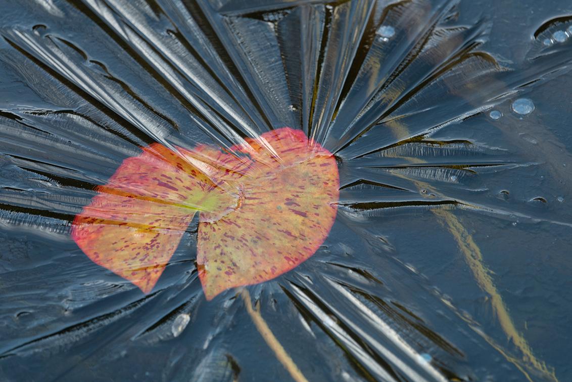 Winter 2021 - 2 - Variaties op een thema... Het flinterdunne ijslaagje op de vijver in de tuin. Zie ook https://zoom.nl/foto/natuur/klein-beetje-winter.3254871.html?ob - foto door PeterKosterHT op 11-01-2021 - deze foto bevat: macro, water, natuur, tuin, winter, vijver, blad, ijs