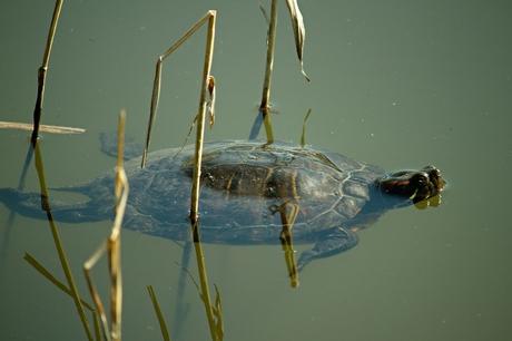 Een zwemmende schildpad.