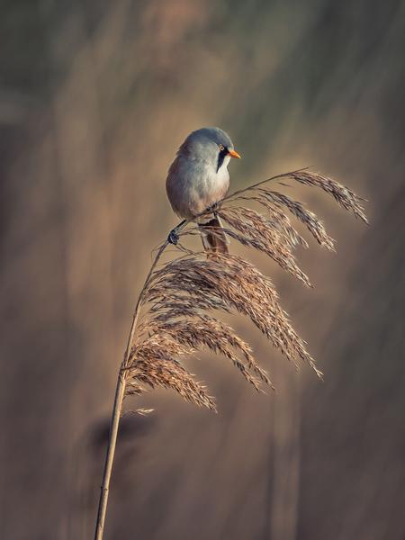 Baardmannetje - Baardmannetje op het riet - foto door P-Bosch op 07-04-2021 - deze foto bevat: baardmannetje, vogelfotografie, fabriek, vogel, bek, takje, veer, gras, terrestrische plant, detailopname, evenement, bloeiende plant