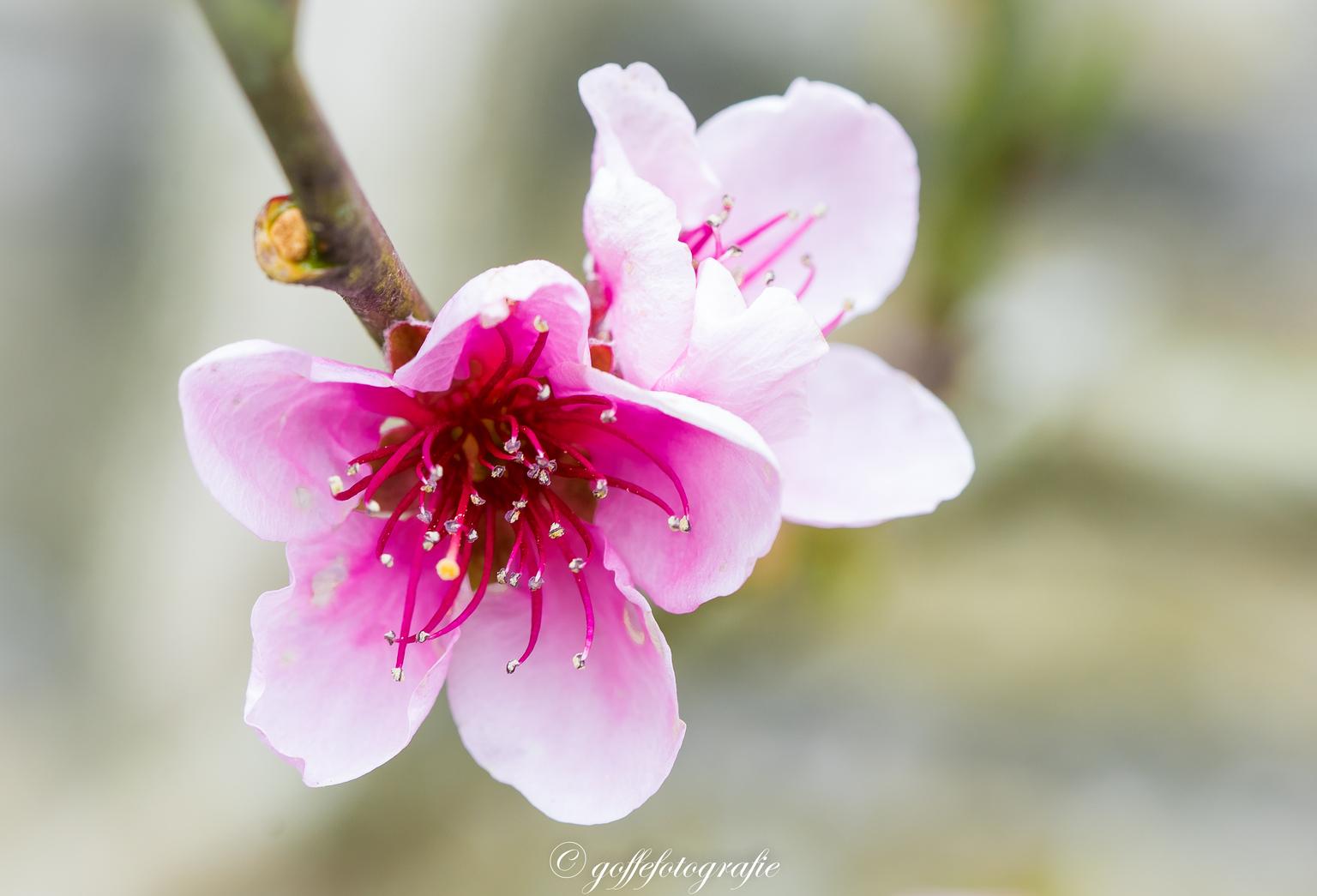 Bloesem - Bloesem - foto door Goffefotografie op 11-04-2021 - locatie: Friesland, Nederland - deze foto bevat: bloesem, pasteltinten, roze, macro, friesland, bloem, fabriek, bloemblaadje, roze, takje, terrestrische plant, bloesem, natuurlijk landschap, magenta, bloeiende plant