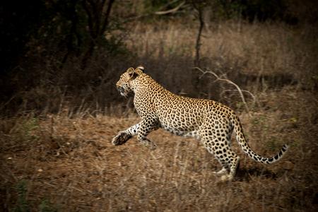 Cat'walk' - Even uit haar schuilplaats om een vogel bij haar prooi weg te jagen. - foto door info-2708 op 15-02-2016 - deze foto bevat: natuur, dieren, safari, kat, afrika, wildlife, luipaard