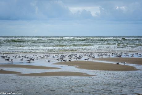 groep visdiefjes, Sterna hirundo, op het Egmondse strand