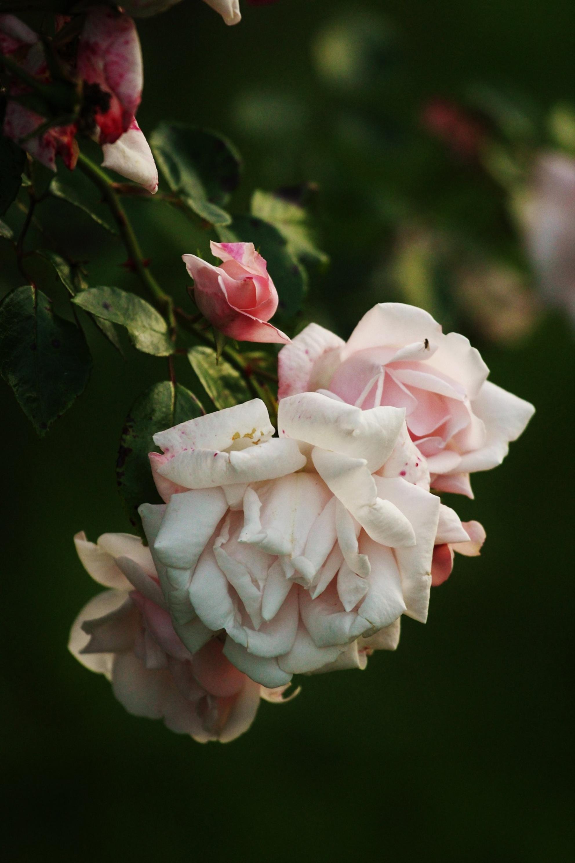 Bloemen - - - foto door kiimmrtn op 26-10-2016 - deze foto bevat: roze, groen, bloem, natuur, licht, bloemen - Deze foto mag gebruikt worden in een Zoom.nl publicatie