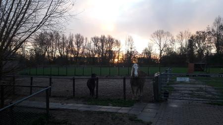 zonopkomst - met zijn 3e wachtende op ontbijt - foto door RolandvanTol op 26-02-2021 - deze foto bevat: zon, boom, licht, paard, dieren, pony, zonsopkomst, shetlander, halflinger