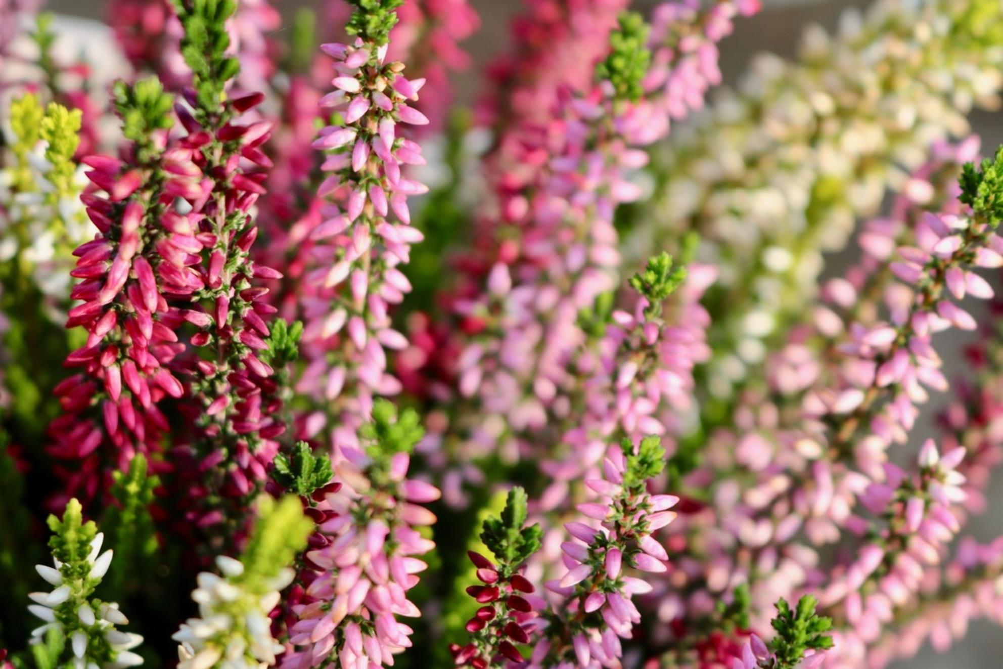 Heide op de Hei - Canon 750D 55mm op f/5.6 1/100 ISO 200 - foto door jimiejimie op 30-10-2017 - deze foto bevat: roze, paars, rood, macro, zon, bloem, natuur, zomer